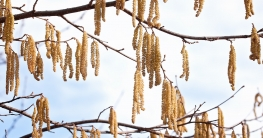 Pollen-Heuschnupfen-Haselnuss